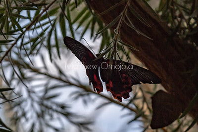 Common mormon butterfly. Papilio polytes.