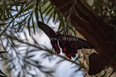 Common mormon butterfly. Papilio polytes.