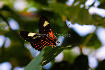 Heliconius melpomene. Longwing butterfly. Heliconius butterfly