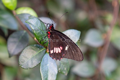 Brown butterfly with folded wings. Pink Cattleheart Butterfly, parides iphidamas,