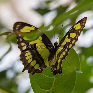 Malachite butterfly with open wings. Siproeta stelenes butterfly