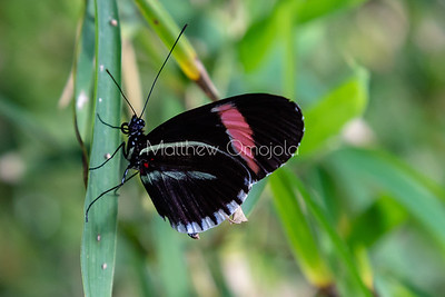 Small postman butterfly. Heliconius melpomene. Longwing butterfly. Black, white red butterfly