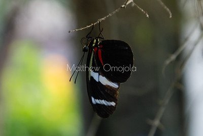 Black, red, yellow blue stripes butterfly. Longwing. Heliconius butterfly.