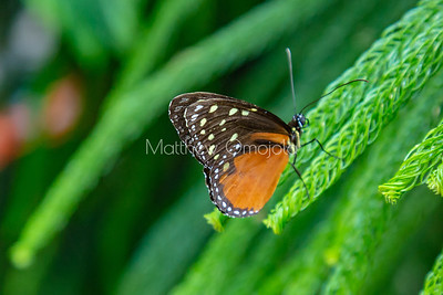 Tithorea tarricina butterfly