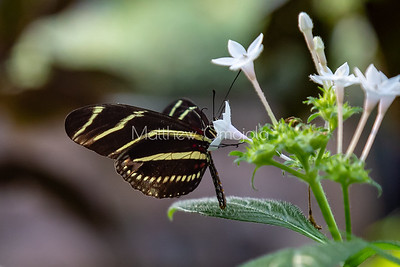 Zebra longwing butterfly. Butterfly with stripes like zebra, heliconius charithonia longwing butterfly on white flower