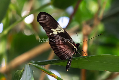 Brown longwing butterfly. Heliconius melpomene ?