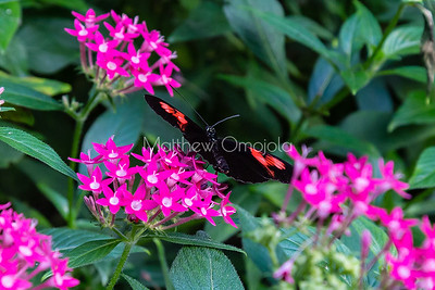 Longwing butterfly on pink pentas lanceolata. Heliconius.
