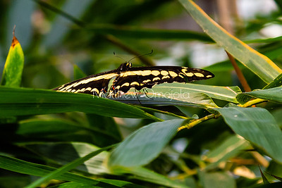 Large butterfly with yellow spots. Giant swallowtail butterfly Papilio thoas.