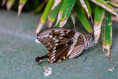 Swallowtail butterfly. Papilio Constantinus. Brown butterfly.