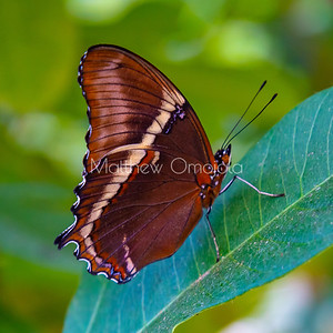 Brown butterfly. Rusty tipped page butterfly. Siproeta epaphus butterfly.