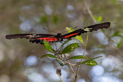 longwing butterfly. Heliconius butterfly. Red butterfly. Black butterfly. White butterfly.