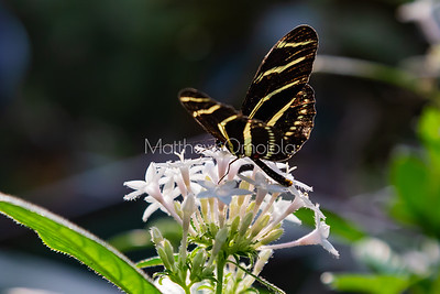 Zebra longwing butterfly. Butterfly with stripes like zebra, heliconius charithonia longwing butterfly on white flower. Pentas lanceolata.