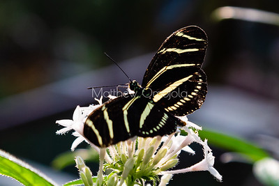 Zebra longwing butterfly. Butterfly with stripes like zebra, heliconius charithonia longwing butterfly