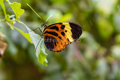 Heliconius numata. numata longwing butterfly. yellow butterfly