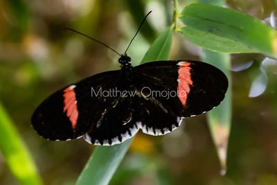 postman. heliconius melpomene. piano key butterfly