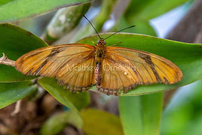 Flame butterfly. Dryas iulia butterfly