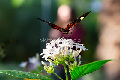 Longwing butterfly on white pentas flower. Heliconius melpomene on white pentas. White pentas lanceolata flower.