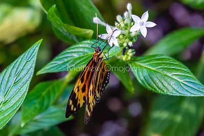 Tithorea harmonia. Harmonia tigerwing butterfly on white pentas flower