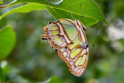 Malachite butterfly with folded wings. Siproeta stelenes butterfly