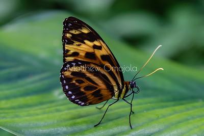 Tithorea harmonia. Harmonia tigerwing butterfly