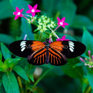 Orange, white and black butterfly. Longwing butterfly on pink pentas lanceolata.