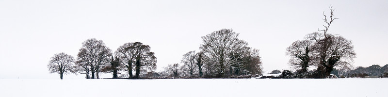 Row of trees isolated in snow