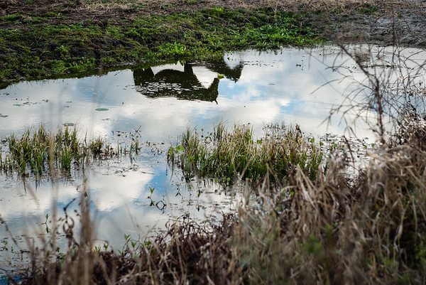 Wild horses reflected in a pond, Paynes Prairie, Florida. January 2017.