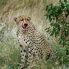 Cheetah-Land