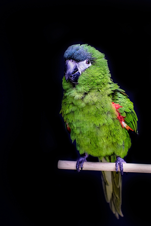 Kiwi, the Hahn's Macaw