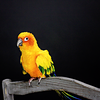 Mango, the Sun Conure
