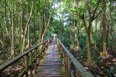 Another section of the boardwalk through LCC with aerial roots of the mangrove trees well shown.