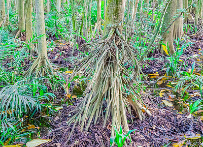 Dense jungle with tall trees at the Lekki Conservation Center Lagos Nigeria. Aerial roots of mangrove trees.