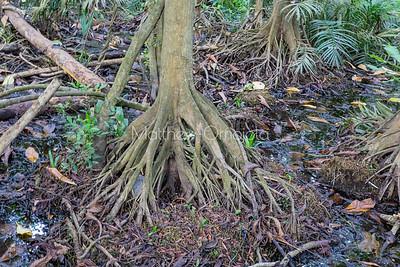 Aerial roots mangrove tree Lekki Conservation Center Lekki Lagos Nigeria with surrounding wetland.