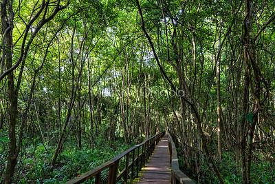 A section of the boardwalk and floor of the forest with aerial roots of mangrove tall trees at the Lekki Conservation Center Lagos Nigeria.