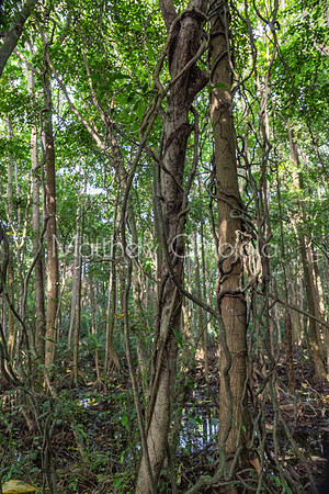 Close up of mangrove trees with climbing creepers and wetland in Lekki Conservation Center Lekki, Lagos Nigeria.