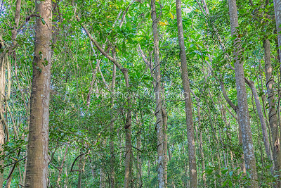 Dense jungle with tall trees at the Lekki Conservation Center Lagos Nigeria.