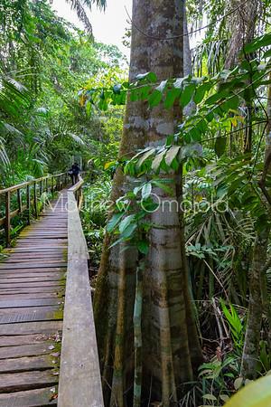 Boardwalk by Aerial roots formation Mangrove tree Lekki Conservation Center Lekki Lagos Nigeria West Africa.