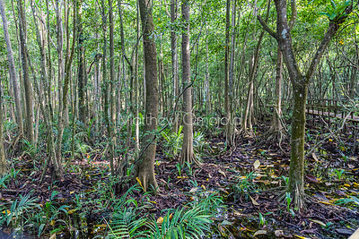 Floor of the forest with aerial roots of mangrove tall trees at the Lekki Conservation Center Lagos Nigeria.