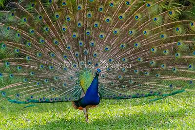 Peacock Lekki Conservation Center Lekki Lagos Nigeria