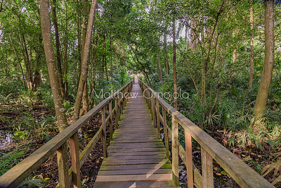 A section of the boardwalk through LCC with mangrove trees aerial roots and dense jungle. A patch of wetland on the lest