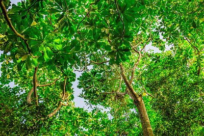 Canopy of Dense jungle with tall trees at the Lekki Conservation Center Lagos Nigeria.