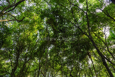 Looking up at the forest canopy Lekki Conservation Center, Lekki, Lagos Nigeria