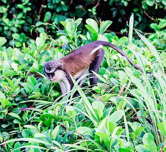 Mona monkey Lekki Conservation Center Lekki Lagos Nigeria