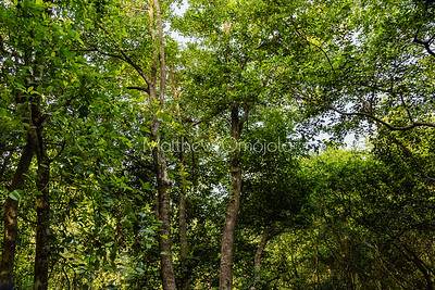 Looking up at the forest canopy in Lekki Conservation Center Lagos Nigeria.