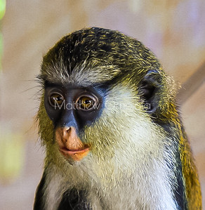 Portrait Mona monkey Lekki Conservation Center Lekki Lagos Nigeria