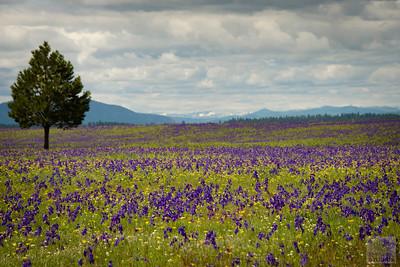 Montana Spring Flowers