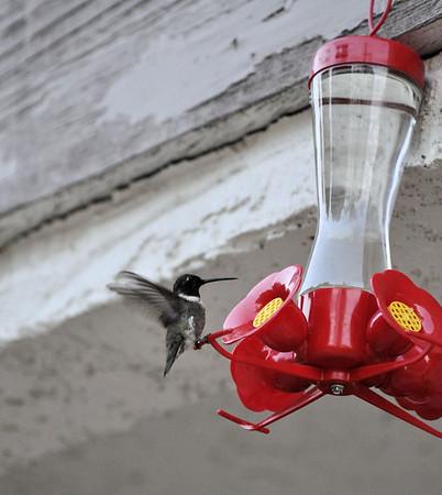 Hummingbirds 036