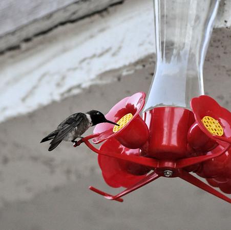 Hummingbirds 033