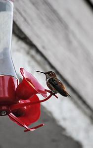Hummingbirds 023