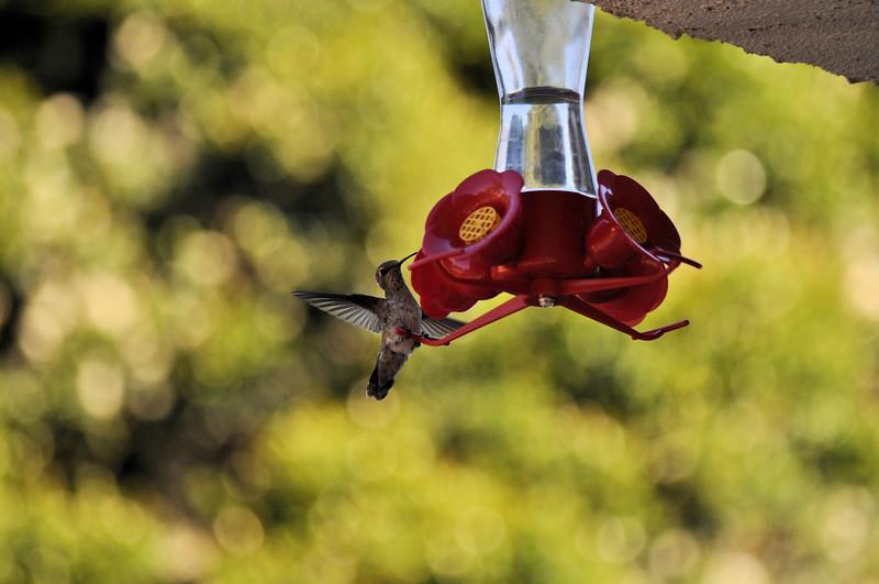 Hummingbirds 012